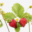 Freshness. Vernal wild strawberry . — Stock Photo #22021855