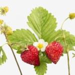Freshness. Vernal wild strawberry . — Stock Photo