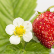 Freshness. Vernal wild strawberry . — Stock Photo #22022097