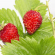 Freshness. Vernal wild strawberry . — Stock Photo #22022115