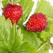 Freshness. Vernal wild strawberry . — Stock Photo #22022179