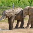 Elephants on the paddock — Stock Photo