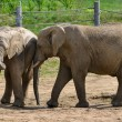 Stock Photo: Elephants on paddock