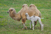 Old and young camel in the zoo — Stock Photo