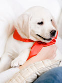 Puppy with red ribbon on the neck on the hands — Stock Photo