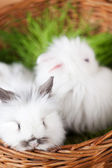 Two white rabbits are in the basket — Stock Photo