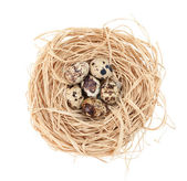Nest with tiny quail eggs — Stock Photo