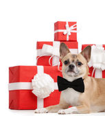 Pale yellow dog lies near the Christmas presents — Стоковое фото
