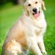 Portrait of funny retriever sitting on the green grass — Stock Photo