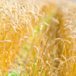 Close-up view of field of rye — Stock Photo