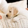 Puppy lying on white bedspread near the hands of woman — Stock Photo #40402645