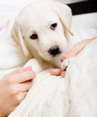 Puppy on the hands of woman — Stock fotografie