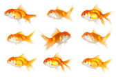 One goldfish swimming in opposite way — Foto Stock