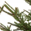 Branch of the spruce — Foto de Stock