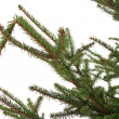 Stock Photo: Branch of the spruce