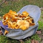 Fresh edible yellow chanterelle heap in blue cap, season details. — Stock Photo #13589790