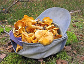 Fresh edible yellow chanterelle heap in blue cap, season details. — Stock Photo