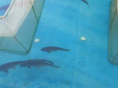Przenoszenie dużych ryb w błękitne wody, losowe. — Wideo stockowe
