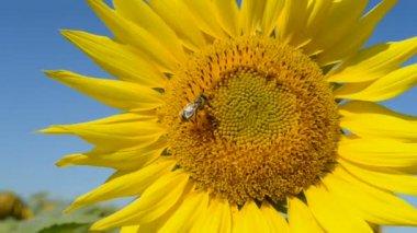 Closeup girasole con insetti su un cielo blu in una giornata di sole, natura. — Video Stock