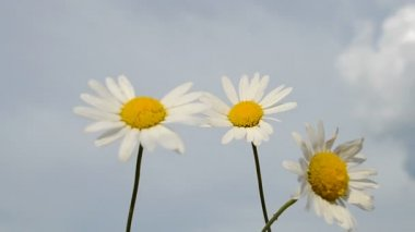 Camomile closeup on blue sky, environment details. — Stock Video