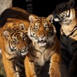 Tigers - Stock Photo