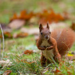 Squirrel — Stock Photo #20274773
