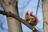 Red squirrel on a branch — Stock Photo