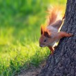 Squirrel on a tree — Stok fotoğraf