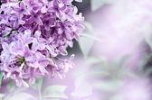 çiçek açan leylaklar bush olduğunu — Stok fotoğraf