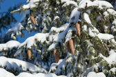 Tree branches with cones in the snow — Foto Stock