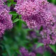 Blooming lilacs — Stock Photo #21690179