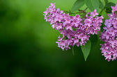 Lilacs in spring — Stock Photo