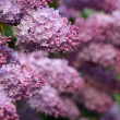 Stock Photo: Lush lilac bush