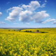 Stock Photo: Blooming canola field