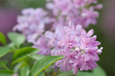 Blooming lilac bush — Stock Photo