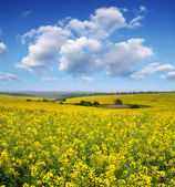 Blooming canola field — Stock Photo