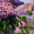 Lilac closeup — Stock Photo