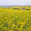 Rapeseed field — Stock Photo #22808932