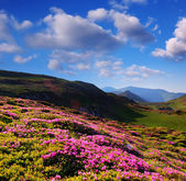 Blooming rhododendron in the mountains — Stock Photo