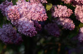 Lilacs in the sun — Stock Photo