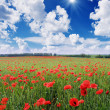 Field with red poppies — Stock Photo