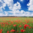 Stock Photo: Field with red poppies