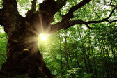 Old tree in the forest — Stock Photo