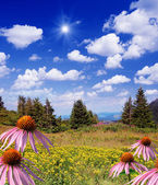 Echinacea flowers — Stockfoto