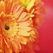 Beautiful orange flowers — Stock Photo