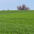 Green field of young wheat — Stock Photo