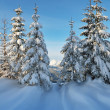 Coniferous trees in the snow — Stock Photo