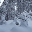 Stock Photo: Forest under snow