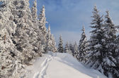 Snow path in winter forest — Stock Photo