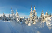 Firs in the snow — Stock Photo